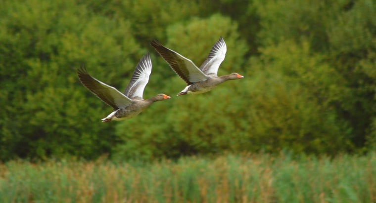 geese-fly-south-winter