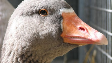 Do Geese Have Teeth?