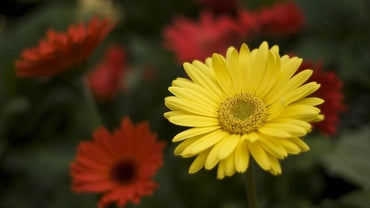 Are Gerbera Daisies Annual or Perennial?