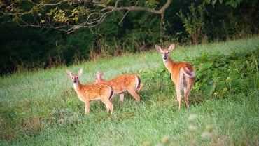 What Is the Gestation Period for Whitetail Deer?