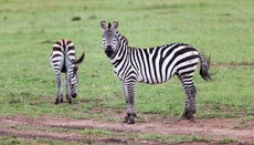 What Is the Gestation Period of a Zebra?