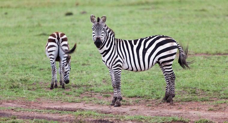 gestation-period-zebra