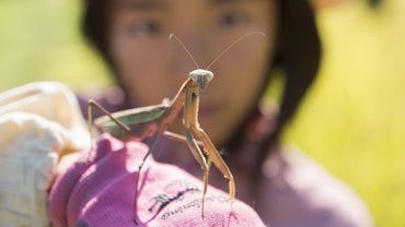 What Is a Giant Asian Praying Mantis?