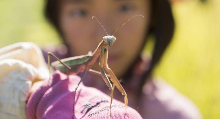 giant-asian-praying-mantis
