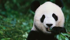 What Do Panda Bears Eat?