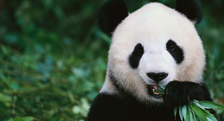 panda-bears-eat