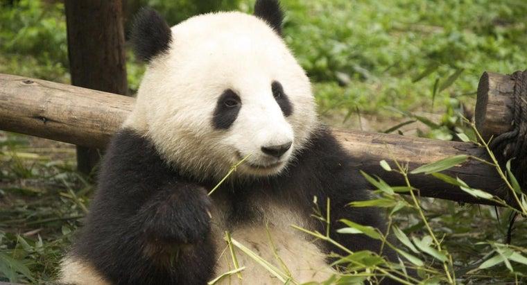 giant-pandas-look-like