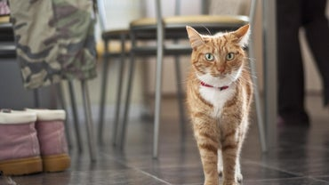 Are All Ginger Cats Male?