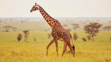 What Are Some Facts About Giraffe Anatomy?