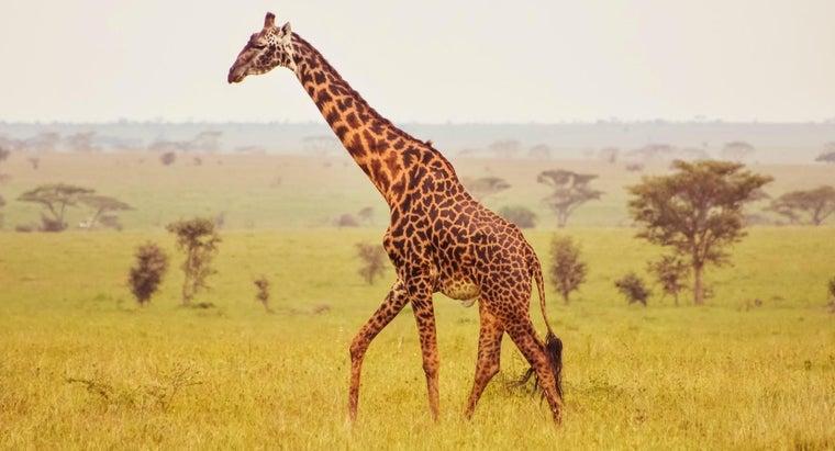 giraffe-anatomy