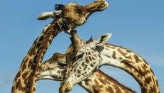 Do Giraffes Make Noises?