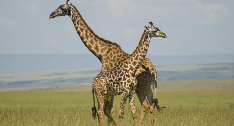 giraffes-sleep-little