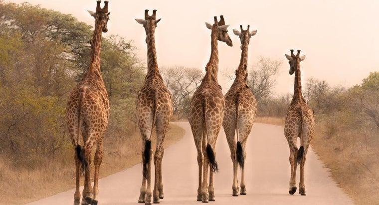 giraffes-tall