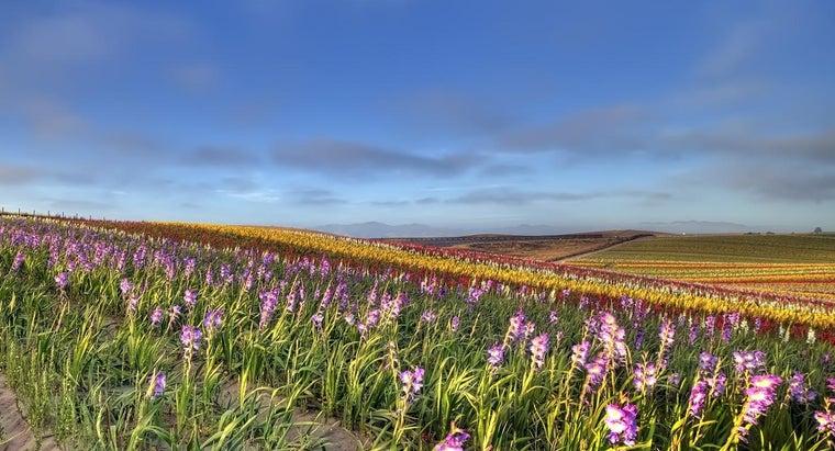 gladiola-flower-look-like