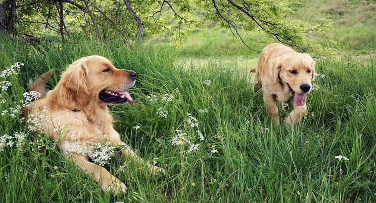 golden-retrievers-good-dogs