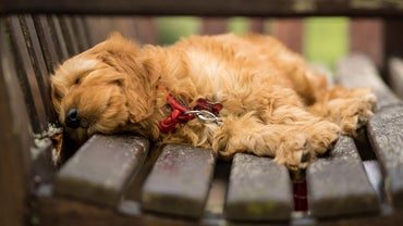 What Are Some Goldendoodle Rescues in Florida?