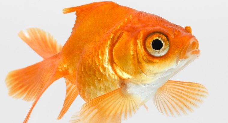 goldfish-gulping-air