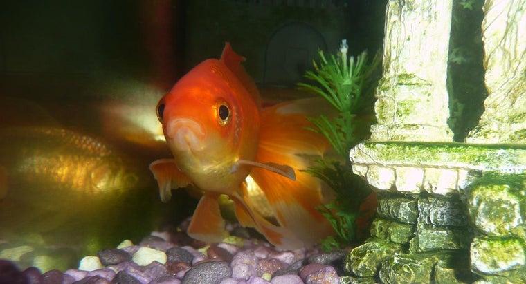goldfish-hiding
