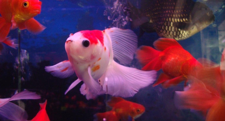 goldfish-need-air-pump