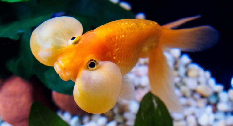 goldfish-sit-bottom-tank