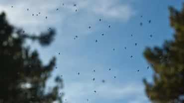 What Is a Good Home Remedy to Kill Gnats?