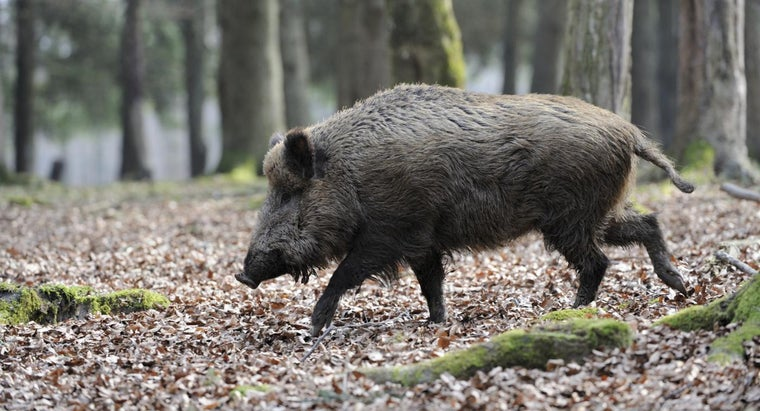 good-locations-hunting-feral-hogs