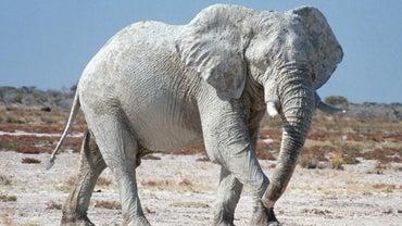 Are Good Luck Elephants a Myth?