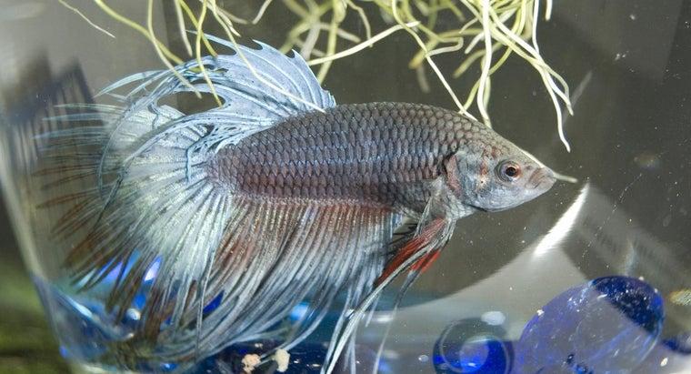 good-name-betta-fish