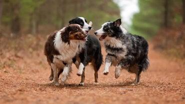 What Are Good Names for an Australian Shepherd?