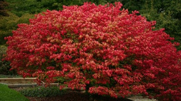When Is a Good Time to Plant a Burning Bush?