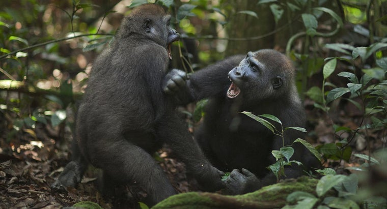 gorillas-attack