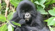 How Do Gorillas Adapt to Their Environment?