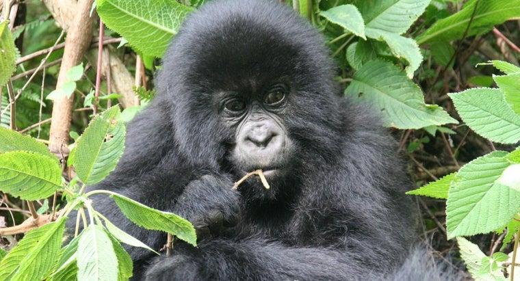 gorillas-adapt-environment
