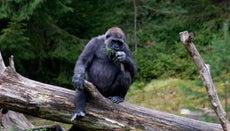 Do Gorillas Eat Meat?