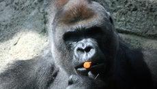 Are Gorillas Omnivores or Herbivores?
