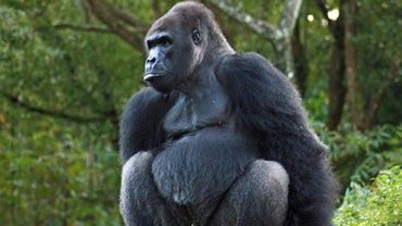 How Do Gorillas Protect Themselves?