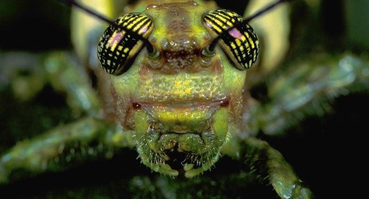 grasshopper-palps