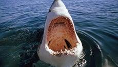Why Do Great White Shark Attacks Happen?