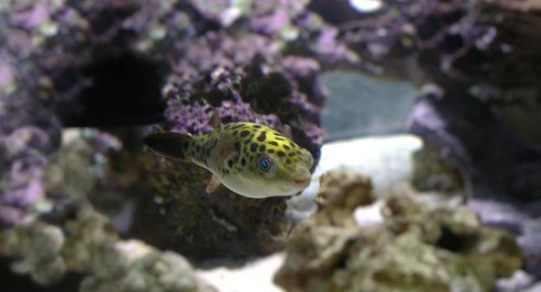 green-puffer-fish