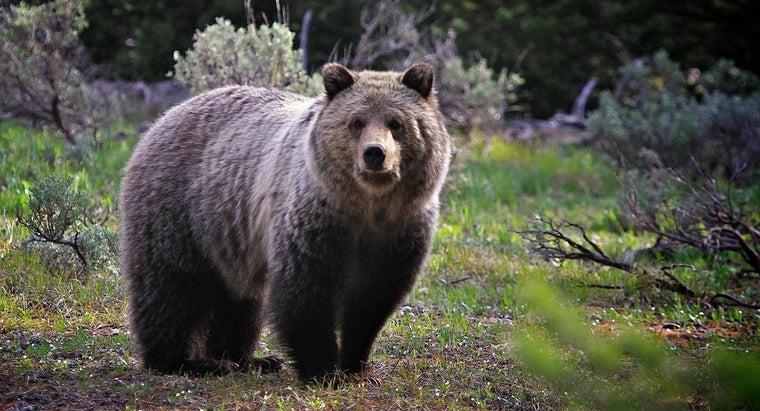 grizzly-bears-hibernate