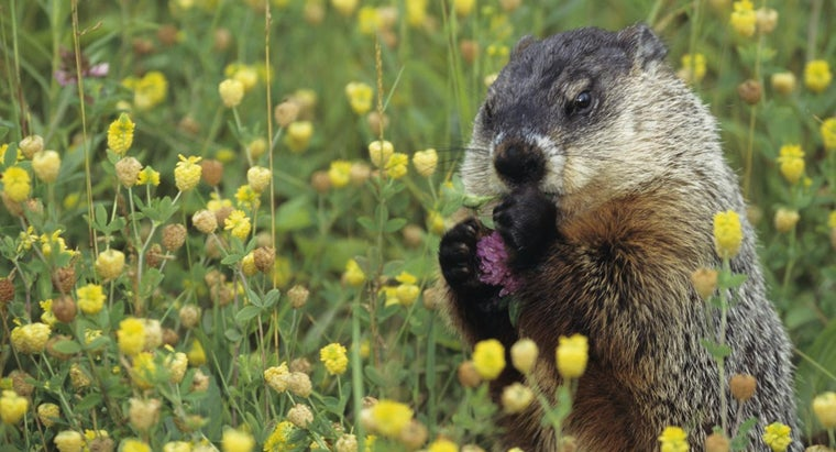 What Do Groundhogs Like To Eat?