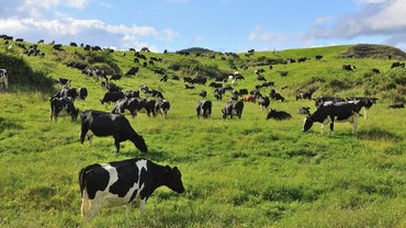What Is a Group of Cattle Called?