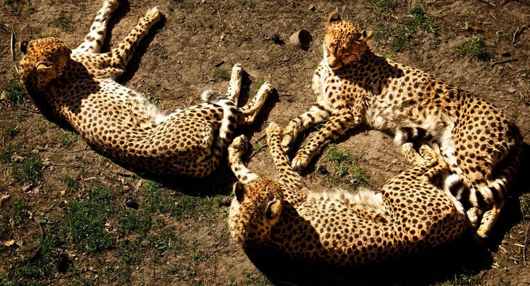 group-cheetahs-called