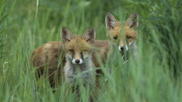 What Is a Group of Foxes Called?