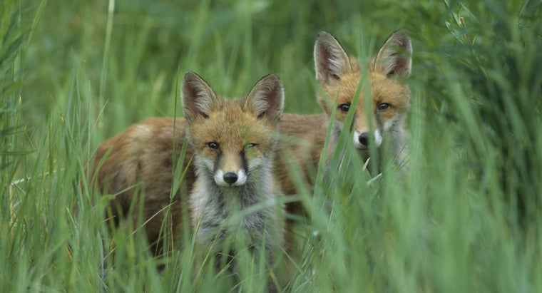 group-foxes-called