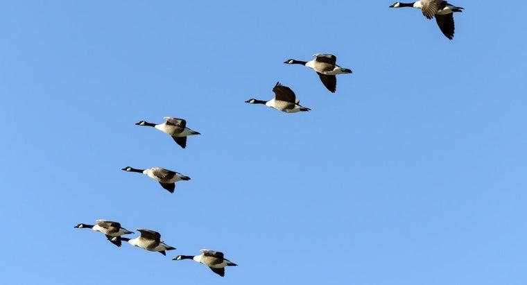 group-geese-air-called