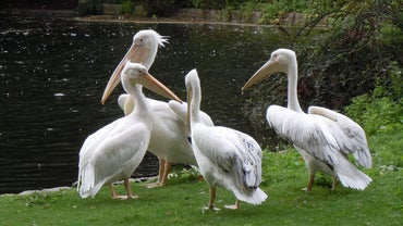 What Is a Group of Pelicans Called?