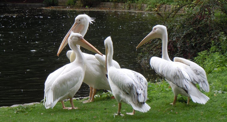 group-pelicans-called