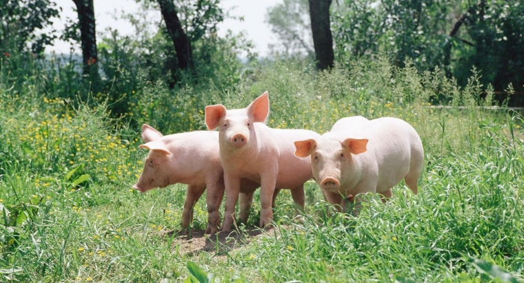 group-pigs-called