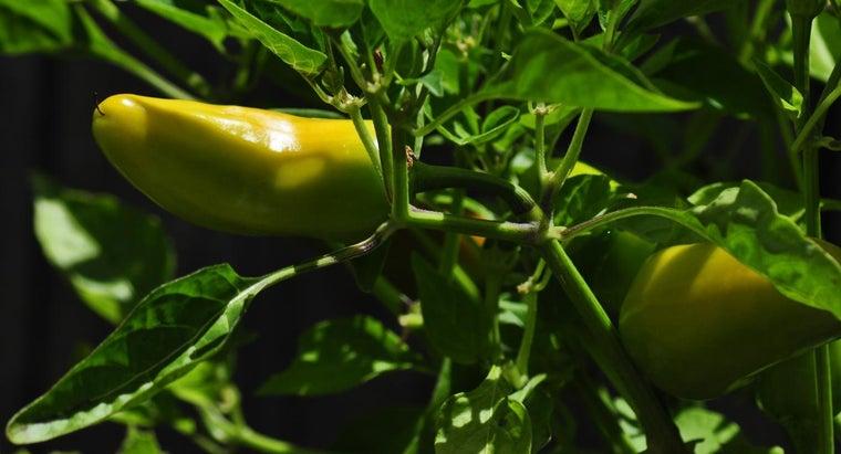 grow-serrano-pepper-plant